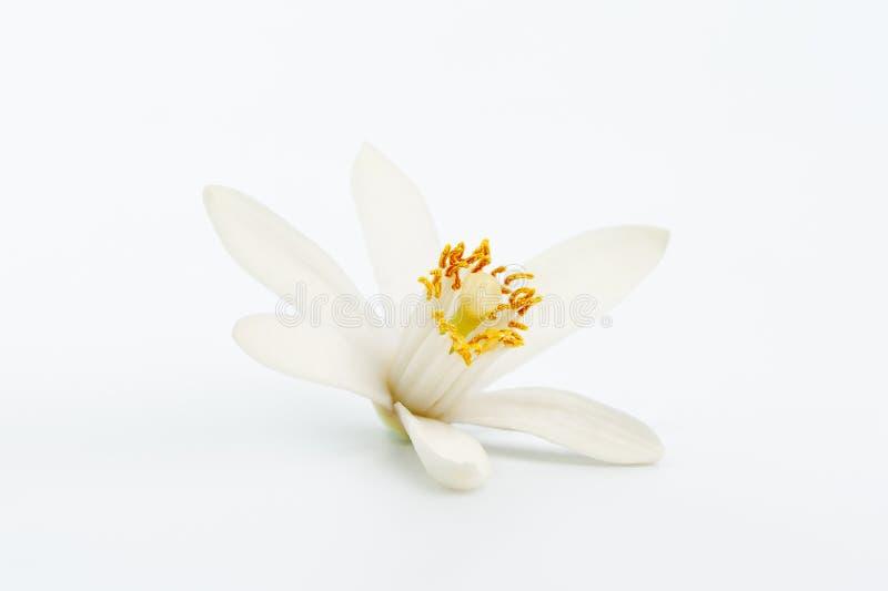 Single lemon flower ingredient. Pure white citrus blossom stock image