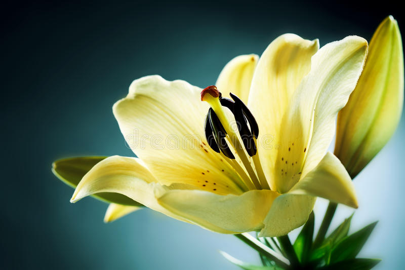 Single lemon yellow day lily royalty free stock image