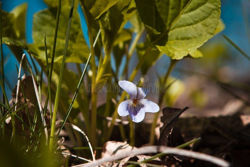 Light blue flower of a violet Viola odorata in a sunny spring forest glade. A single light blue flower of a violet Viola odorata in a sunny spring forest glade stock image