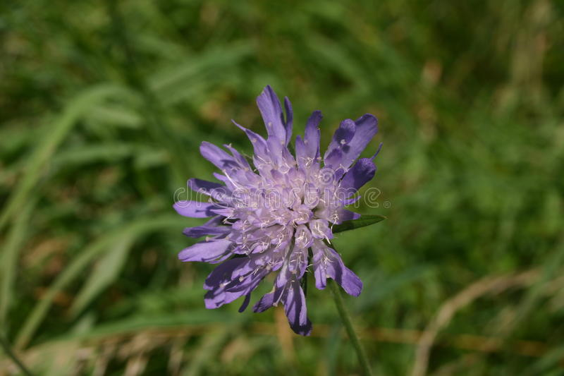 Field scabious (Knautia arvensis) flower. Single lilac coloured field scabious (Knautia arvensis) flower with a background of leaves royalty free stock image