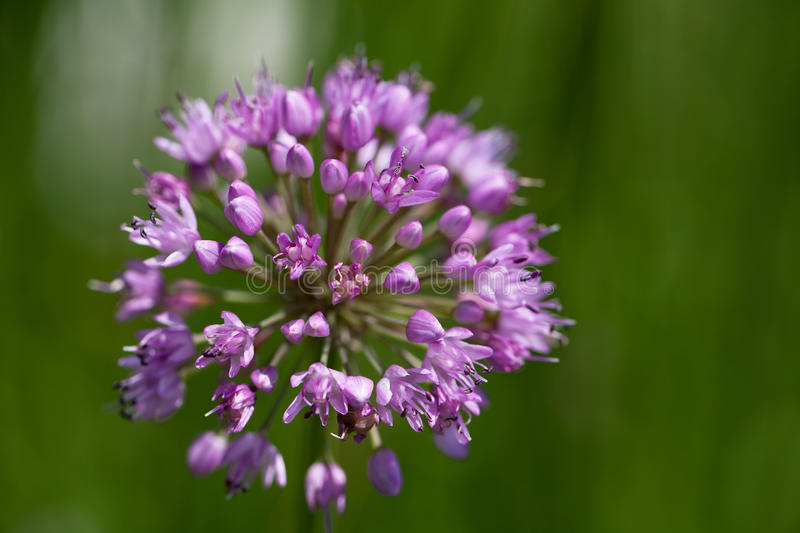 Single lilac flower of blooming allium in garden on green background royalty free stock image