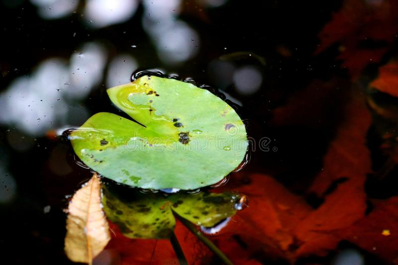 A single lily pad floating in the pond stock photo