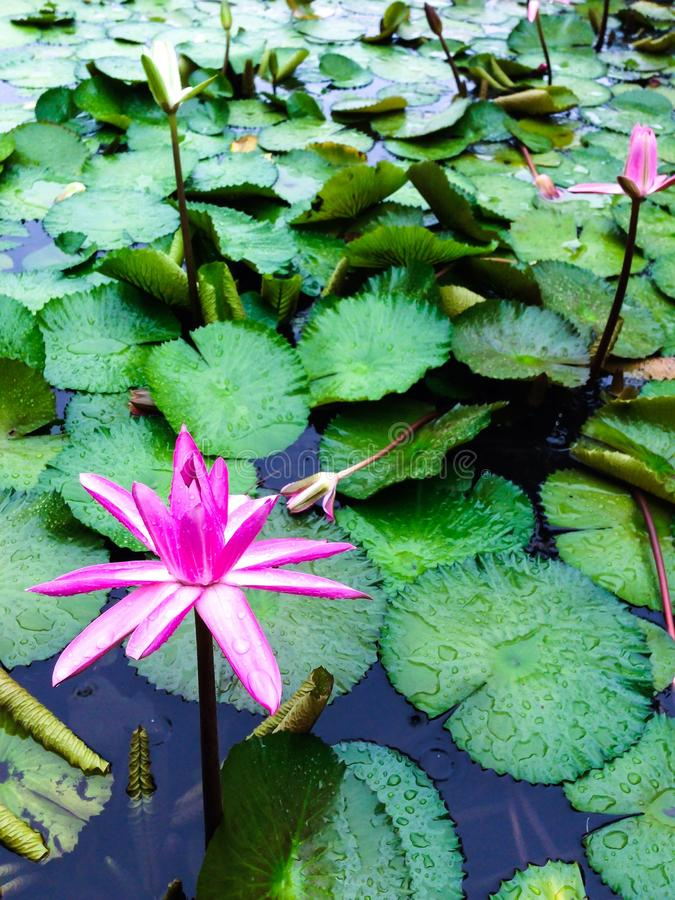 Download Single lily after the rain stock image. Image of holidays - 43544303