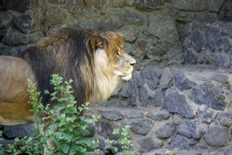 Lonely royal lion standing proudly close-up on gray stone background royalty free stock photos