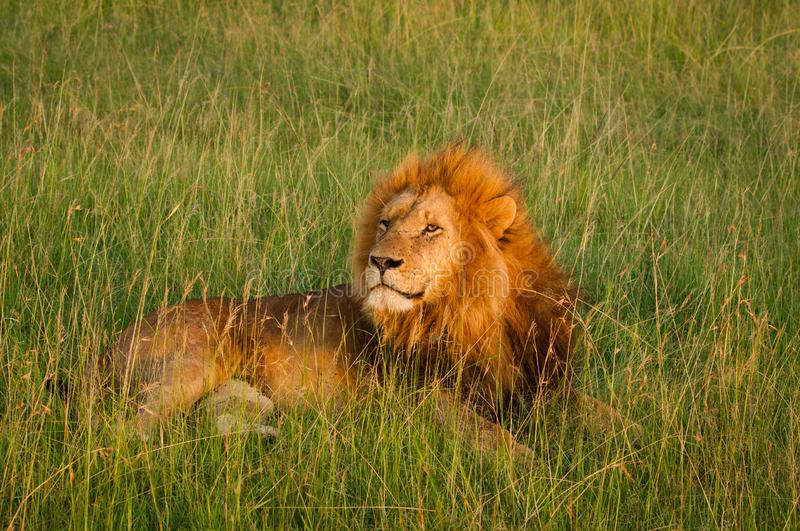 Single lion in sunset light on african savannah stock images