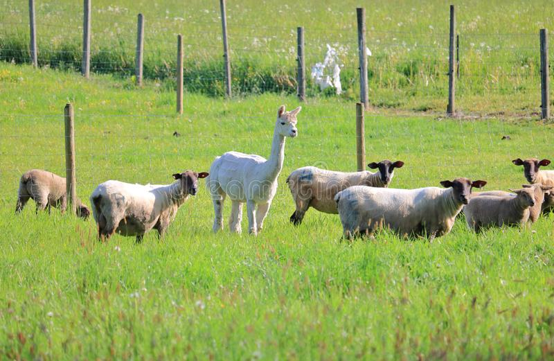 Single Llama With Flock of Sheep royalty free stock images