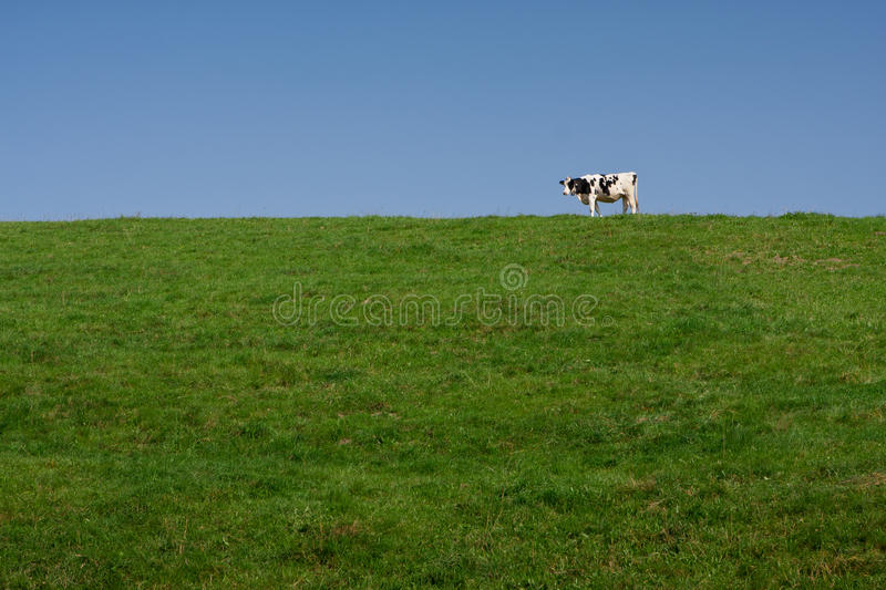 Download Single lone milk cow stock photo. Image of meadow, animal - 26954240
