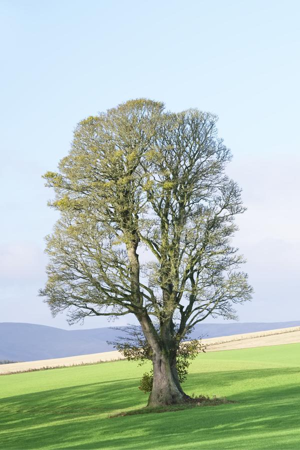 Single lonely tree in summer on farm field after harvest on green meadow stock photos