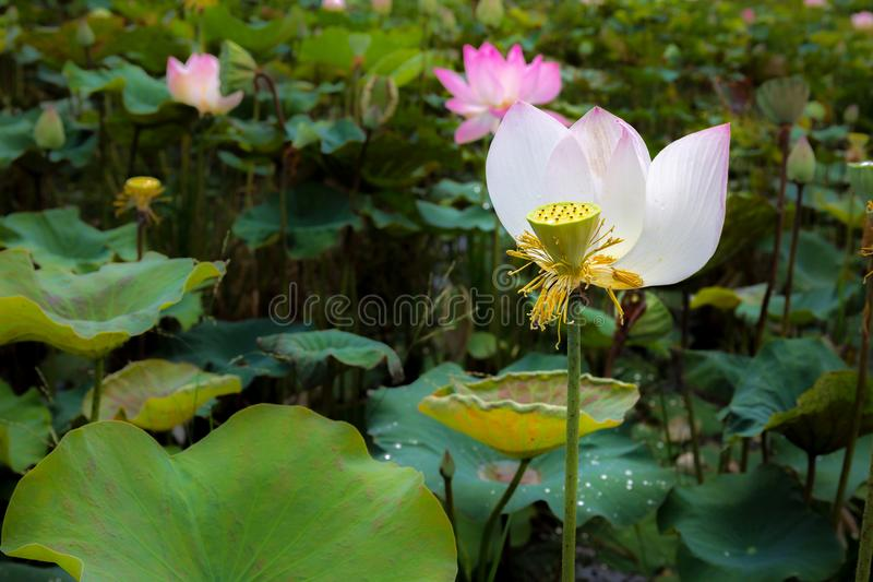 Single Lotus Flower Elegantly Bloom in a Natural Tropical Pond i stock photo