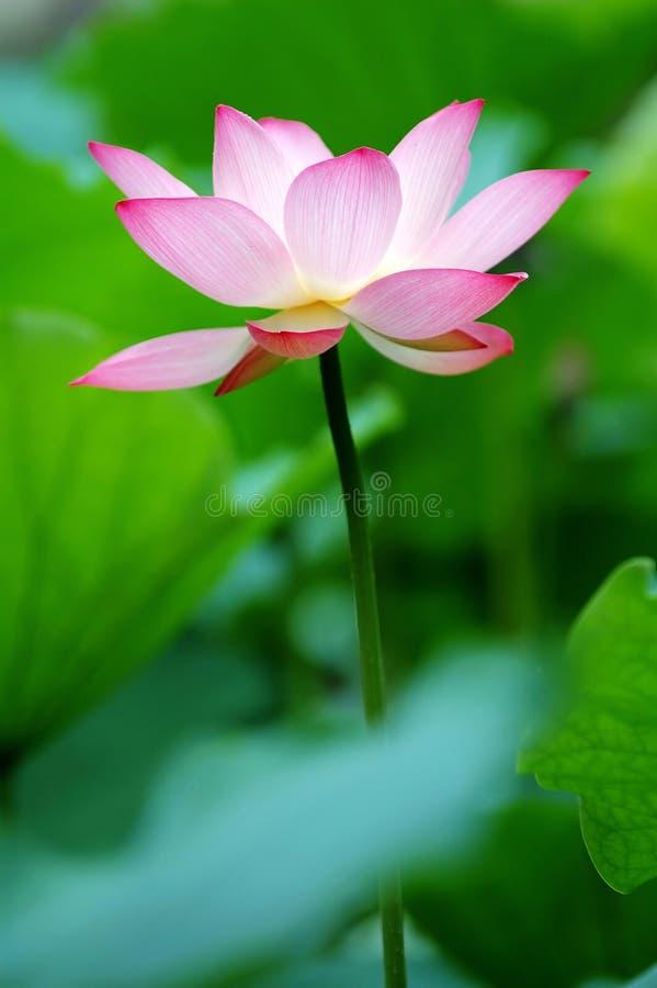 Single lotus flower between the greed lotus pads stock photo