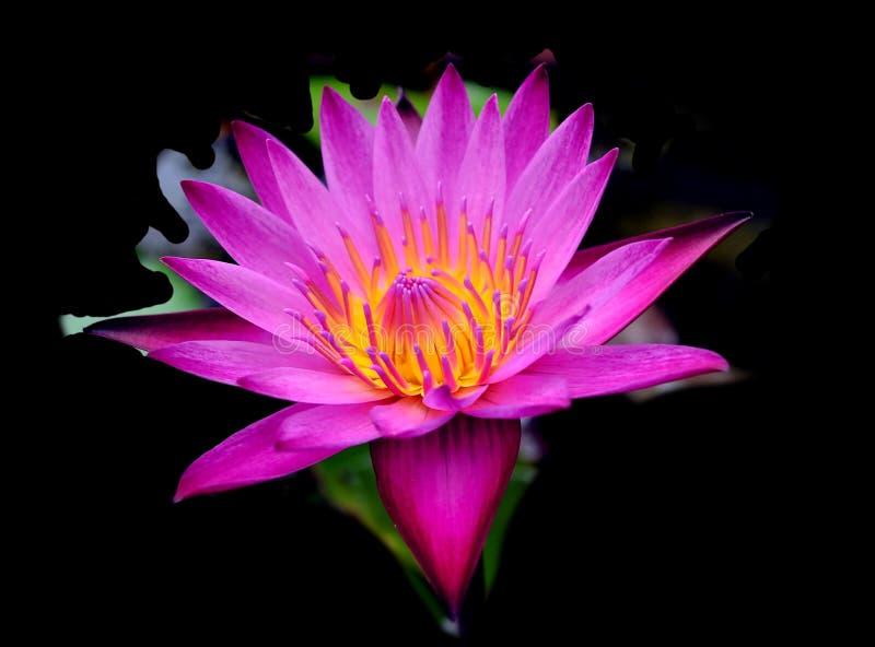 Single lotus flower isolated on black background royalty free stock image