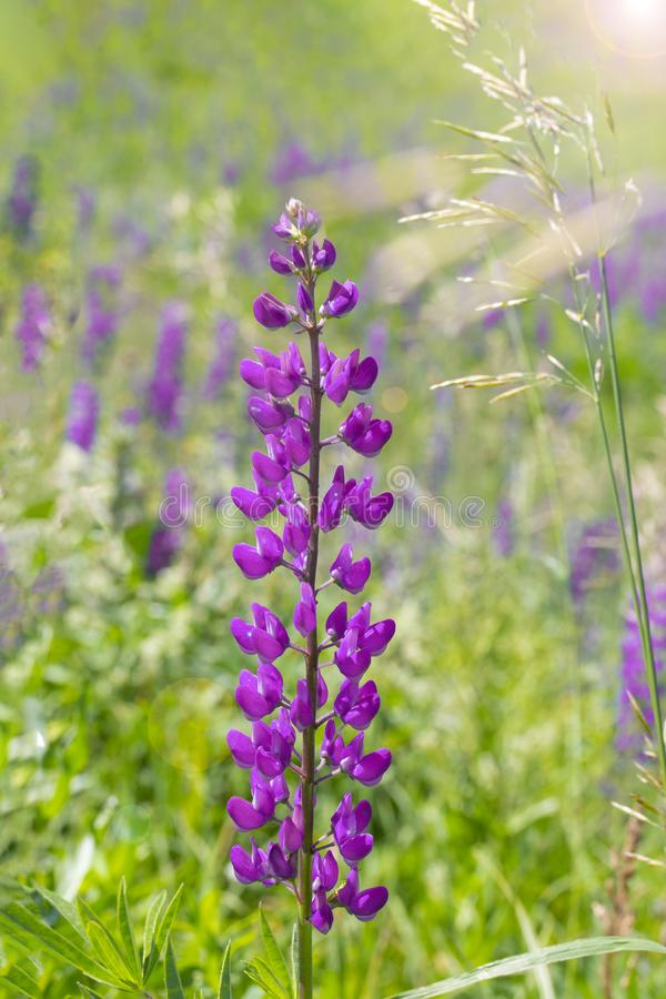 Single lupine flower in a meadow, vertical. Lilac magenta is a long stalk of lupine with many petal flowers. Wild lupine flower. Blooms in the meadow stock image