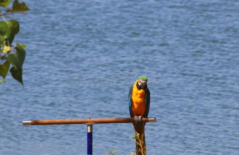 Single Macaw parrot colorful bird stock images