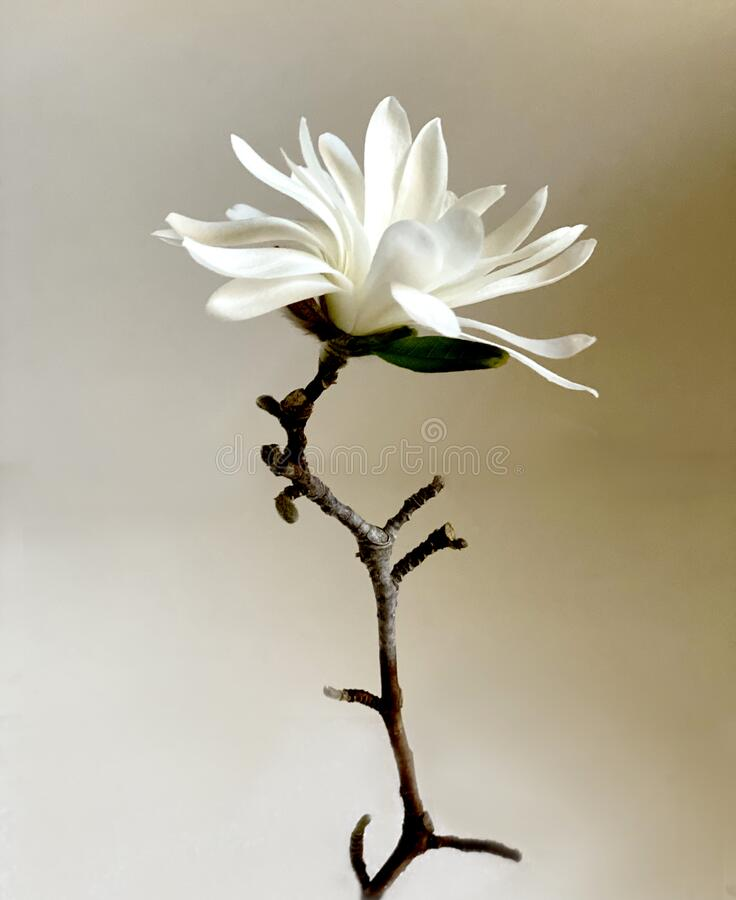 Free Single Magnolia Flower With A C Rooked Stem Stock Photography - 182096702