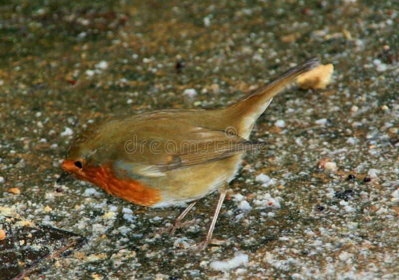 Single male robin bird 3 royalty free stock photo