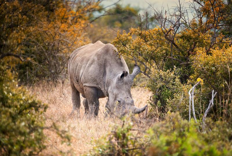 Single male white rhino in the South African bush. Lone male white rhino feeding in the South African bush royalty free stock images