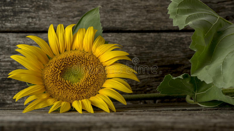 Single mammoth sunflower bloom on wooden table. Single mammoth sunflower bloom with green stalk and leaves laid down sideways on wooden table stock images
