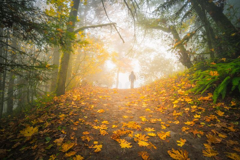 Hiking in the foggy forest. A single man hiking in the foggy forest with autumn foliage royalty free stock image