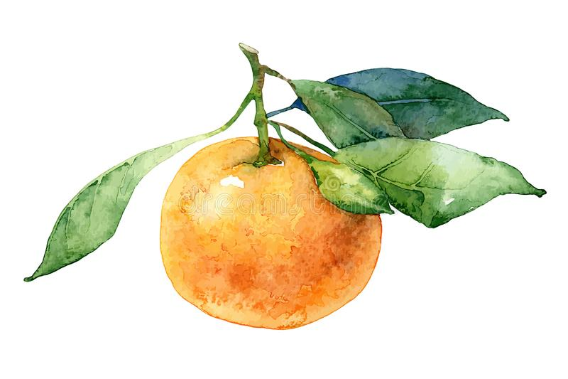 Single mandarin with leaves vector illustration
