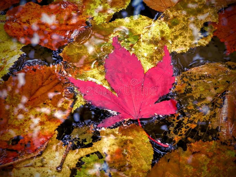 Maple leaf floating with golden leaves stock images