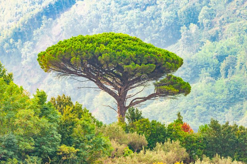Single mediterranean pine tree growing on the top of the hill. Evergreen trees forests filling the gradient mountain range royalty free stock image