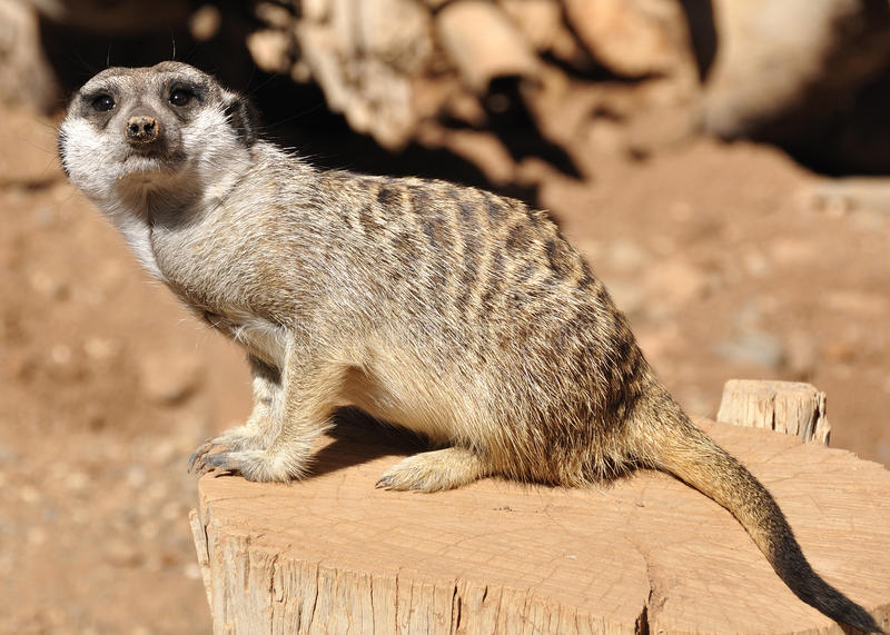 Download Single Meerkat stock photo. Image of cuddly, predators - 16903232