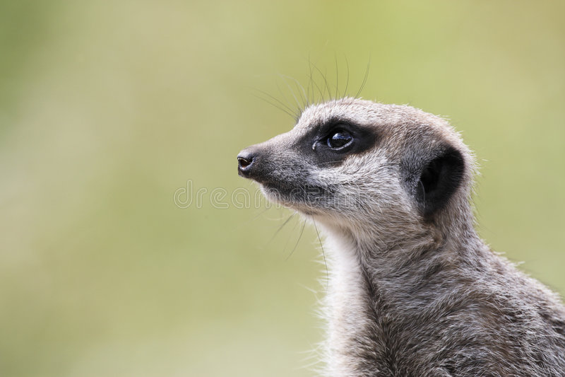 Single Meerkat Looking Out Stock Photography