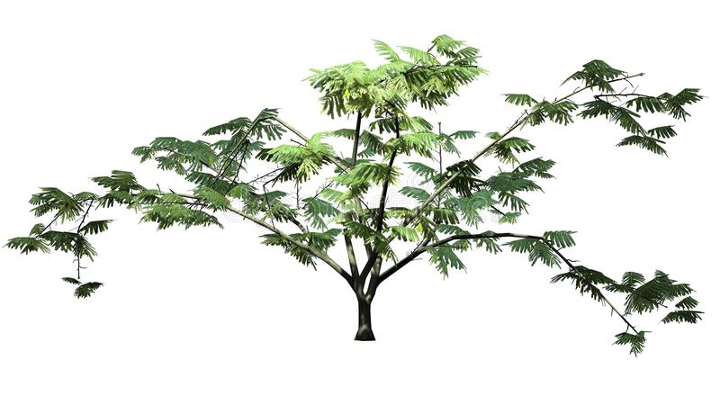 Single Mimosa tree. Isolated on withe background stock image