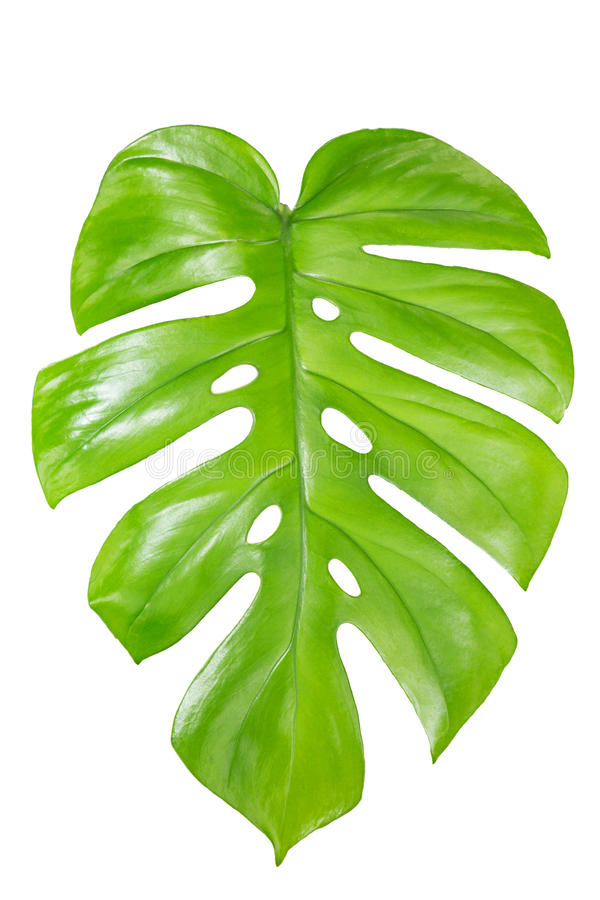 Single Monstera leaf isolated on white stock image