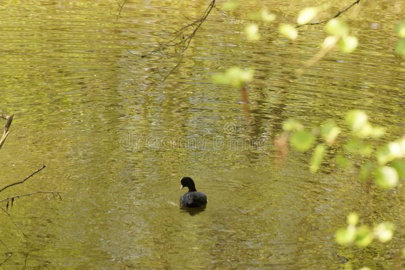 A moorhen alone which swims in the lake - France. A single moorhen which swims in the lake of the Pond of the mute. The lake is to Elancourt, a French city, in royalty free stock photos