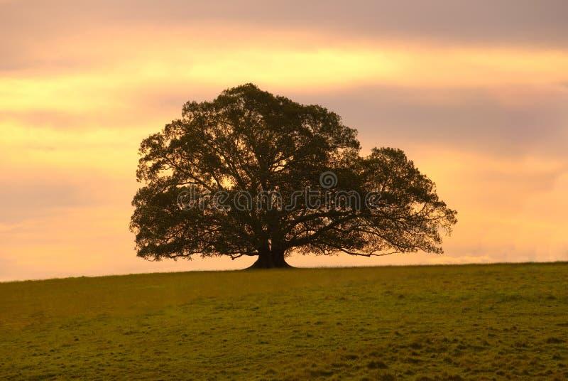 Single Moreton Bay Fig Tree stock image