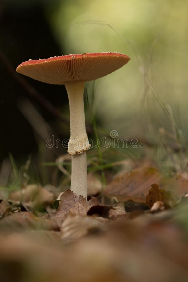 Single mushroom with white stem and red cap royalty free stock photo