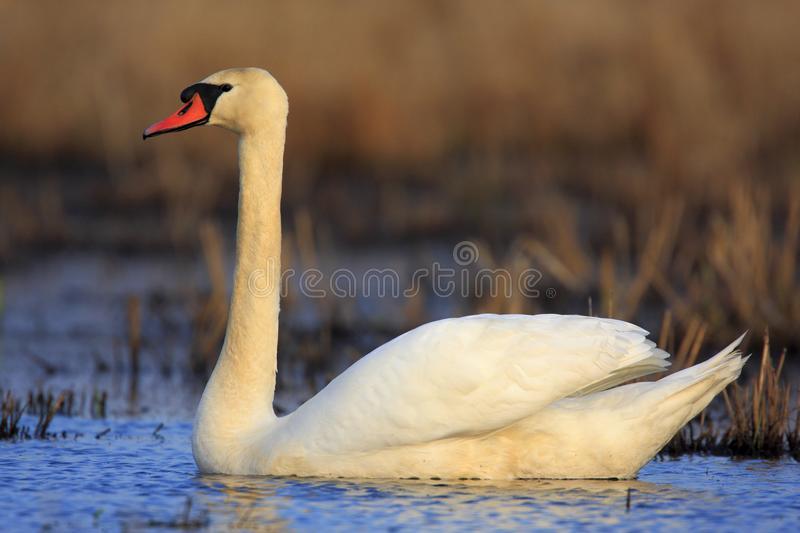 Single Mute swan bird on a water surface. During a spring nesting period stock image