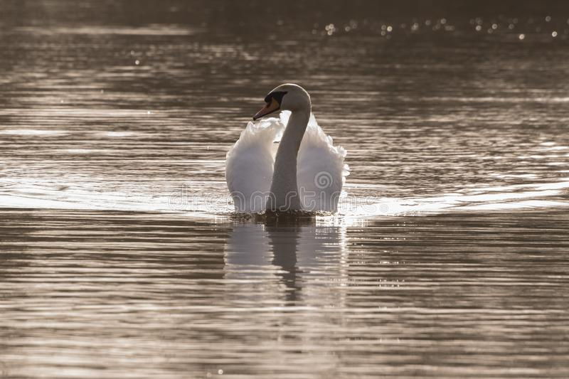 Download A Single Mute Swan In The Early Morning Light Stock Photo - Image of swan, southampton: 112954366