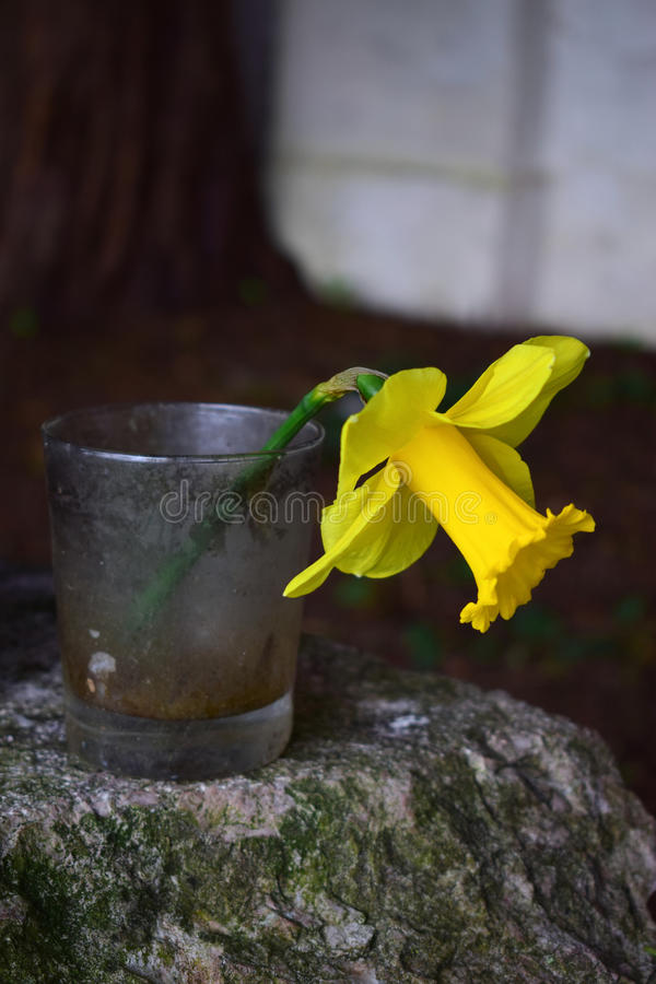 Single narcissus flower in a glass. stock photos