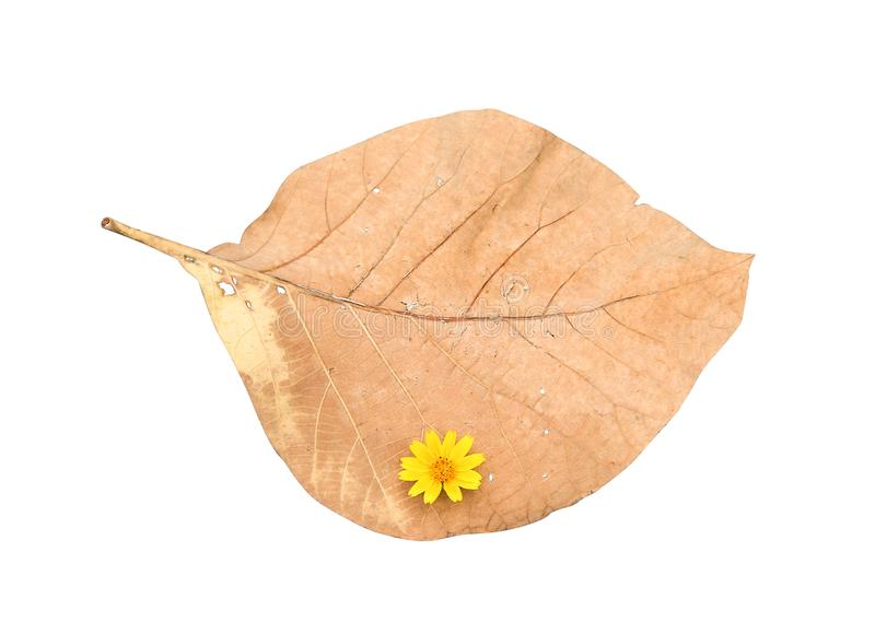 Single nature dried leaf background with  colorful flowers yellow petal blooming or sweet singapore daisy top view patterns royalty free stock photography