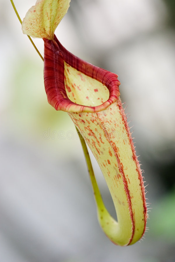 Single Nepenthes sp. flower. Tropical exotic carnivorous pitcher flower, Nepenthes sp., waits for any small insect to close and eat it stock image
