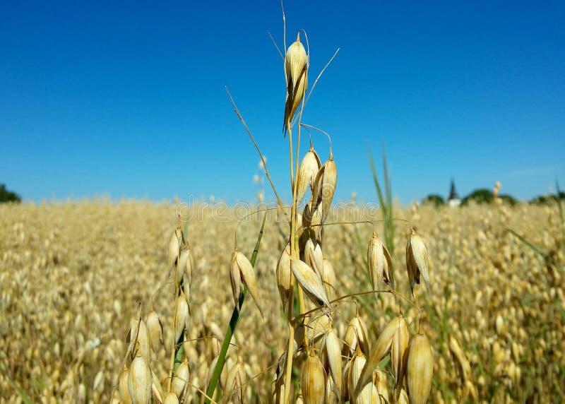 Single oat stock photos