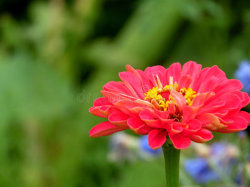 Single Off Set Garden Zinnia stock photo