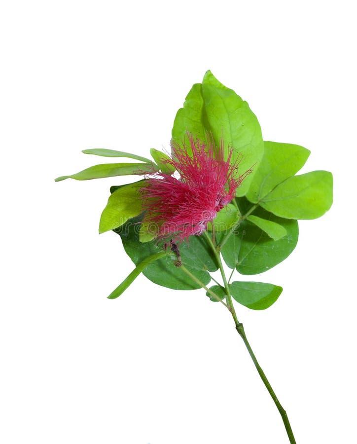 Free Single Ohia Lehua Hawaiian Flower Royalty Free Stock Image - 39675346