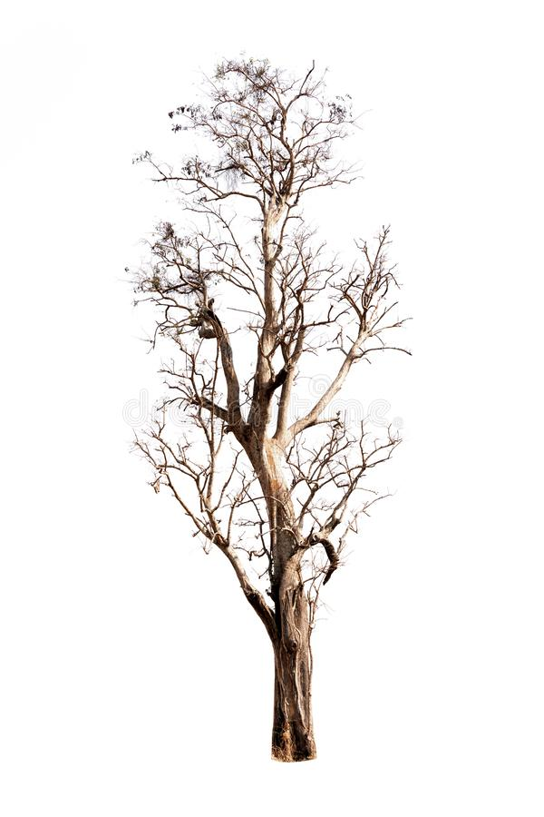 Single old and dead tree isolated on white background royalty free stock photos