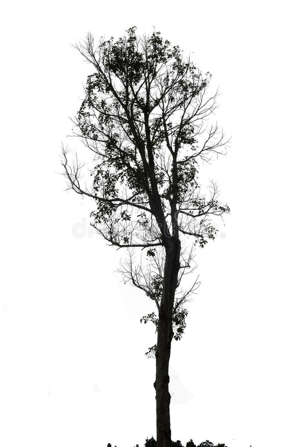 Single old and dead tree on white background royalty free stock images