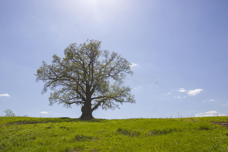 Download Single Old Oak And Sunlight In May. Stock Photo - Image: 24925380