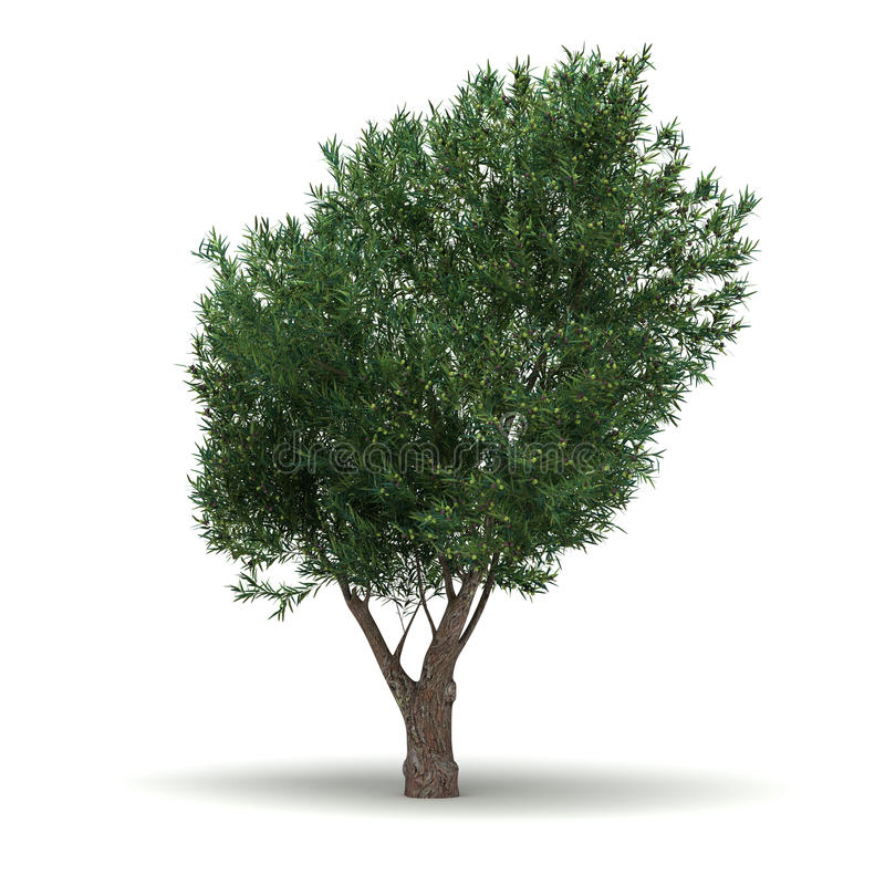 Single Olive Tree. Single Olea Europaea Tree ( white background stock illustration