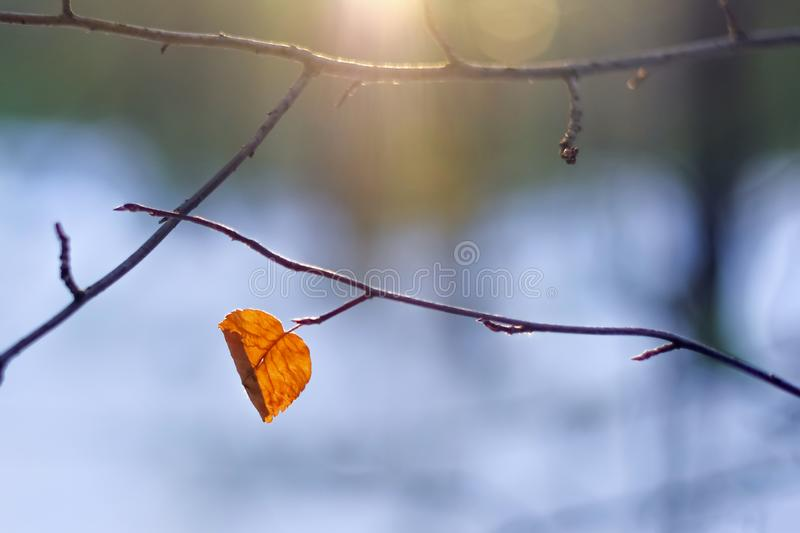 Single Orange Autumn Curved Leaf, Bare Branches, Winter Forest At Sunset. Backlit, Lens Flare. Loneliness, Last Of A Breed Conce royalty free stock image