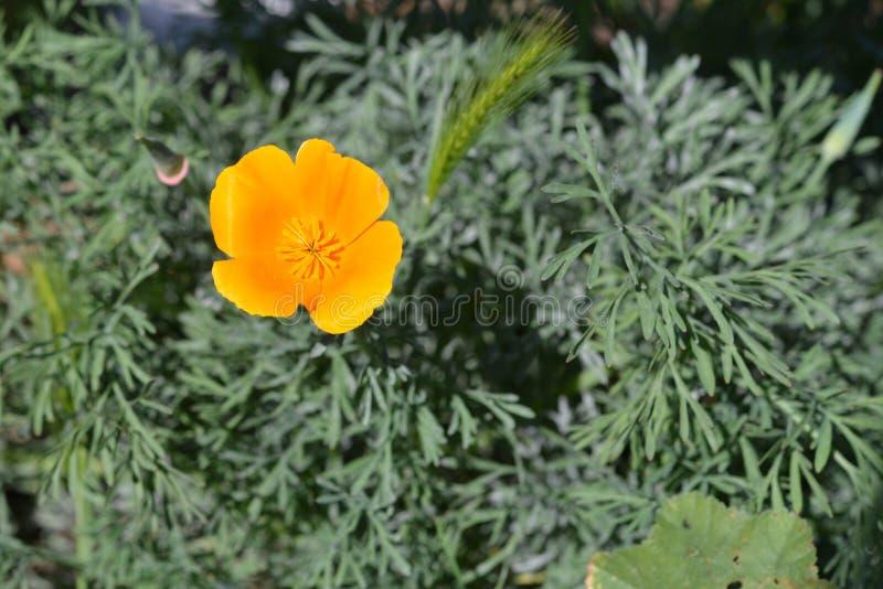 Single orange california poppy stock image image of space single california state flower with greenery in background mightylinksfo