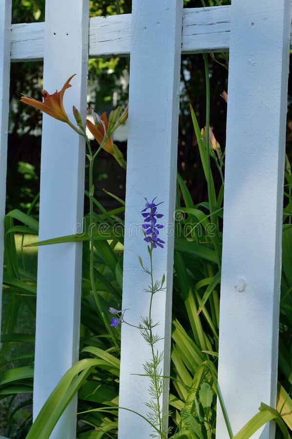 Single orange day lily and purple larkspur delphinium on white picket fence vertical stock image
