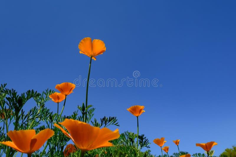 Single Orange Flower against dark Blue Sky. Stand Up, Stand Out, Stand Tall Single orange California Poppy flower silhouetted against blue sky with flowers in stock images