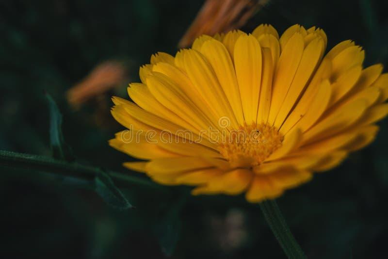 a single orange flower of calendula officinalis royalty free stock images