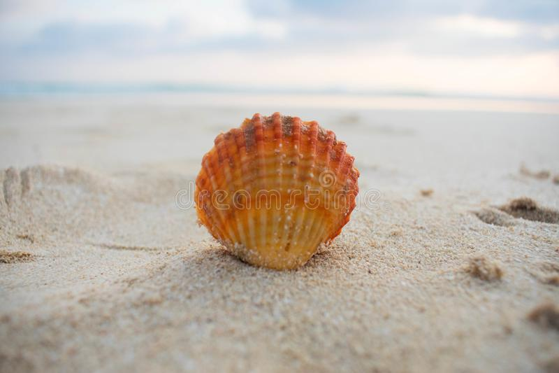 A single orange seashell by the seashore stock image